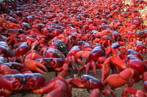 christmas-island-red-crab